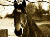 Sepia Horse