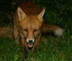 Thumbnail Urban fox at night