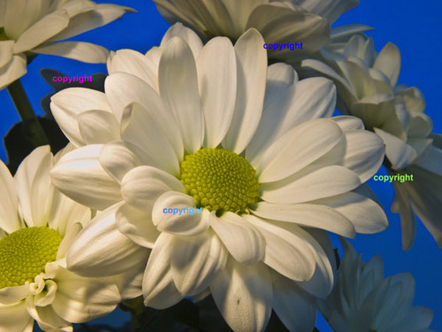 Product picture Asters